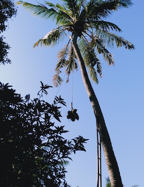 Coconut harvest