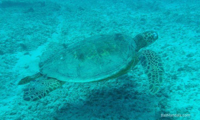Bild Wasserschildkröte vor dem Bali Mandala